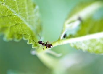 Ant On Leaf by Labyr1nth