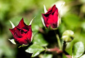 Rose by Labyr1nth
