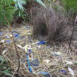Satin bowerbird display nest thing