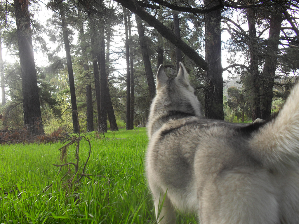 Forest Wolf by BriannaTWedge