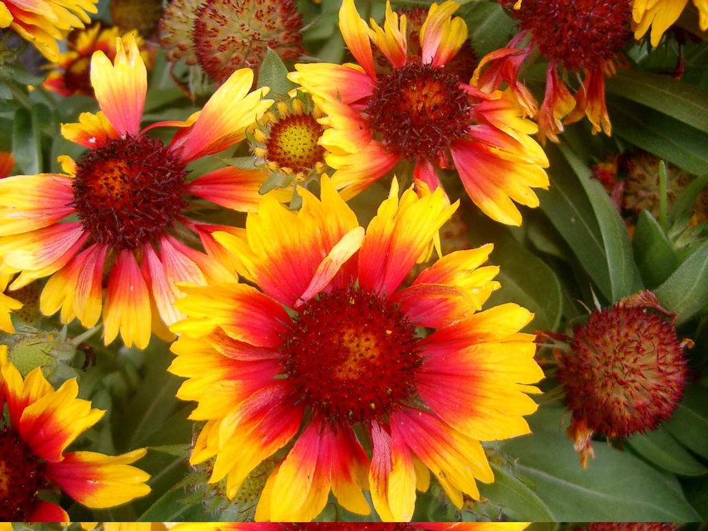 Yellow And Red Flowers Pictures