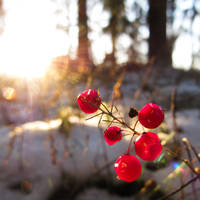 Berries of the sunshine by m-ika