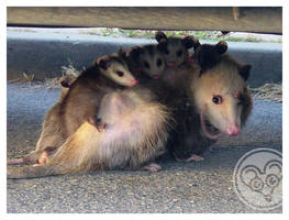 momma possum