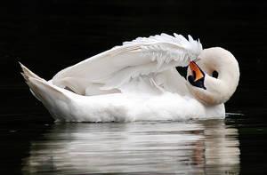 Vertigo swan by servale
