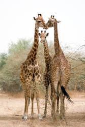 Girafes 01 by servale