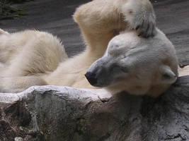 polar bear by klenkeit