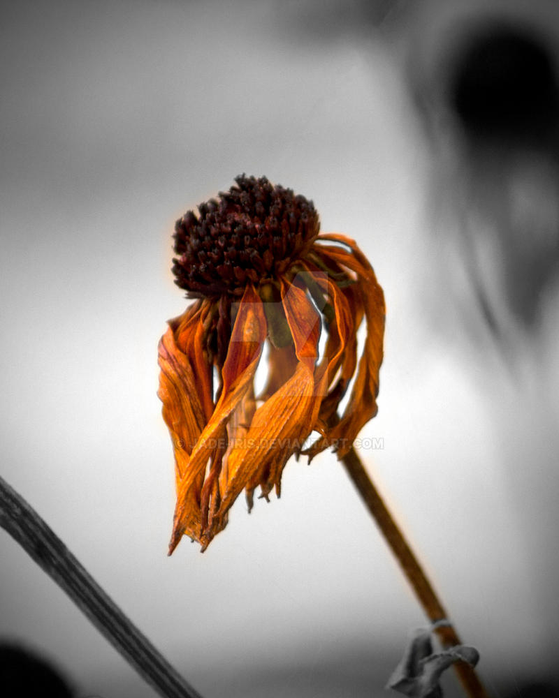 Dying flower by jade iris on deviantart dying flower by jade iris izmirmasajfo Choice Image