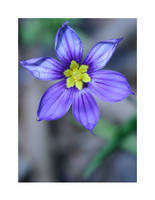 Sisyrinchium bermudiana by PainIsBeautiful