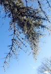 Ice on pinetree stock
