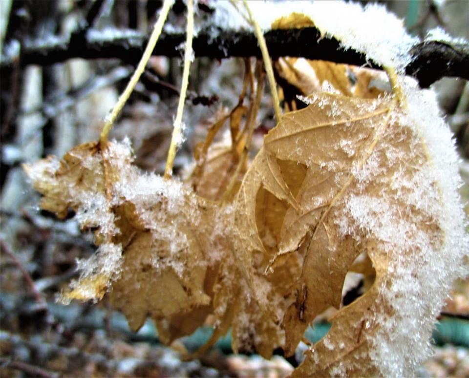 Icy Leaf by anniemscluv93