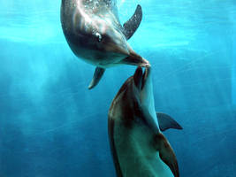 Dolphins Playing Redux