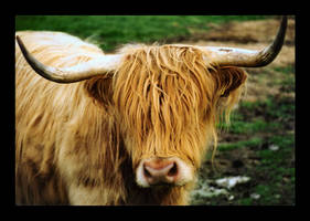 Highland Cow by DarknessHunter