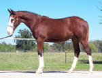Breed. Clydesdale