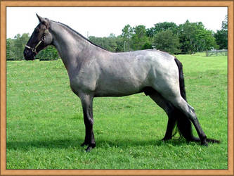 Tennessee Walking Horse by Equine-Association