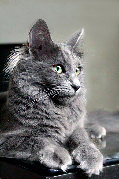 Light Grey Cats With Black Stripes And Blue Eyes