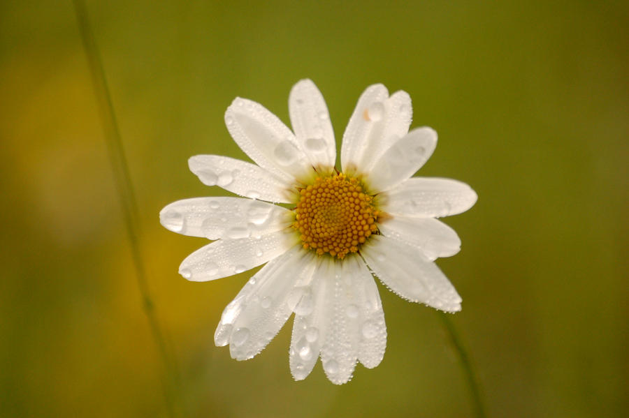 Marguerites tears