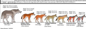 Guide to species of Canis by Patchi1995