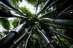 Bamboo by elolitta