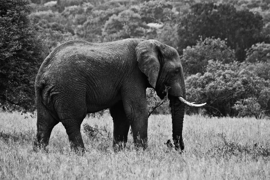 Elephant BW by tazmaniandevil777