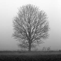 The tree and the mist