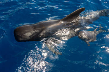 pilot whale with newborn baby