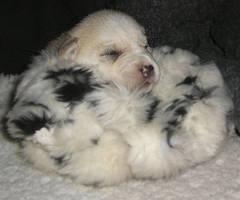 puppy by LilyRaziel