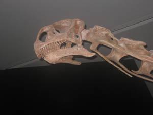 Malawisaurus dixeyi skull