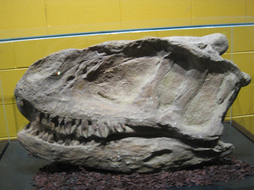 The skull of the Yangchuanosaurus by Darcygagnon on deviantART