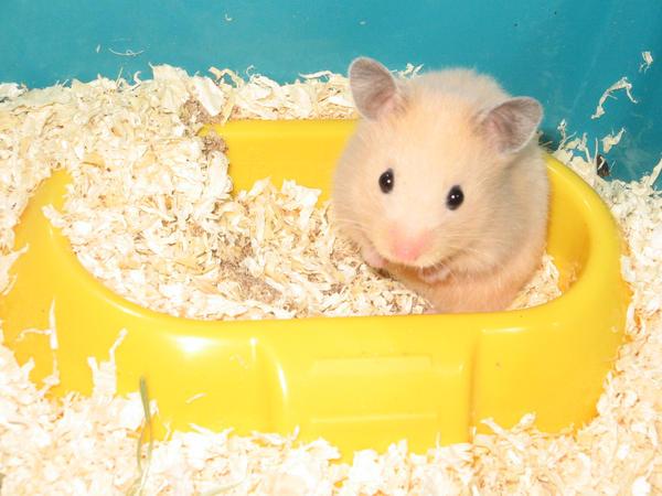Klara the Hamster