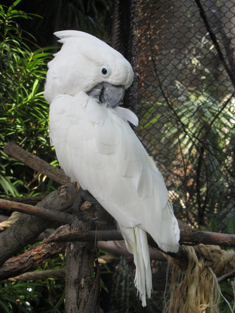 White Cockatoo by Orcanaria