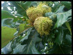 nuts by LadyCalie