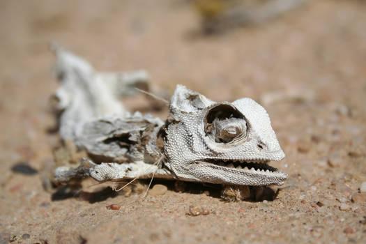 Dead desert chameleon