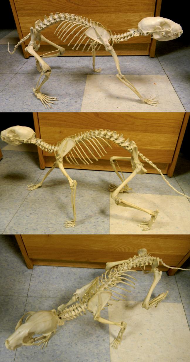 Raccoon Skeleton 2 by Koeskull