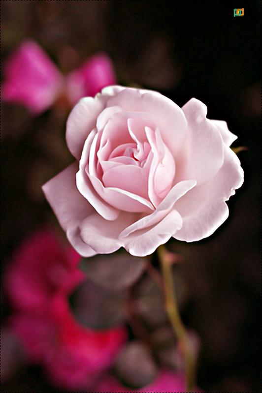 rose5 by Amjady