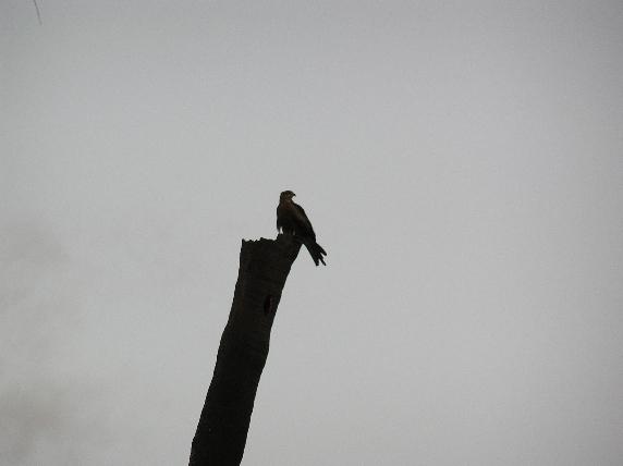 Solitary Raptor