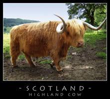 Scotland - Cow