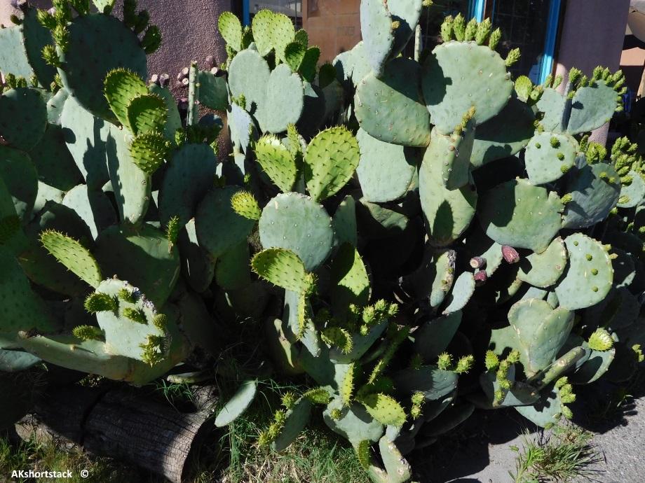 Elephant Cactus Plant 28 Images Succulent Elephant
