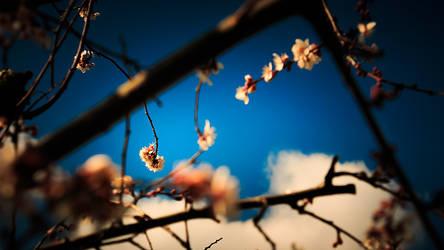 Prunus tree