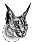Caracal cat - ink illustration