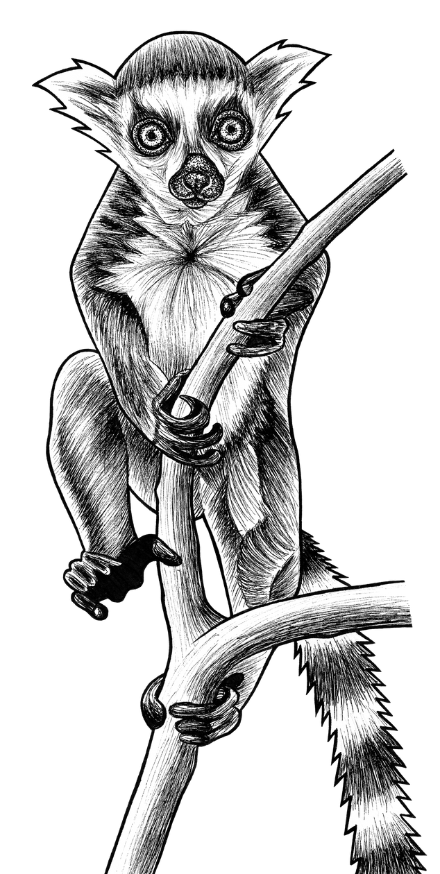 Baby ring-tailed lemur - ink illustration