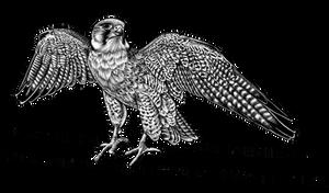 Lanner falcon - bird of prey - ink illustration