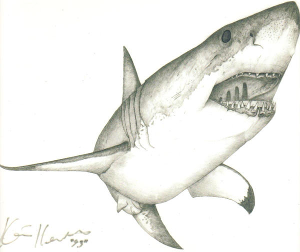 Great White Shark Drawing Great White Shark Drawings