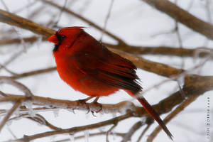 Male Cardinal by leavenotrase