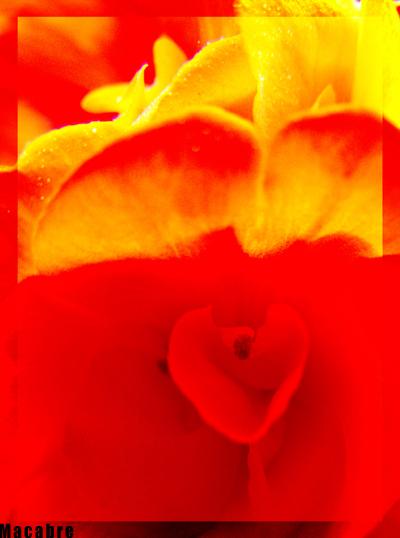 Red flowers by Schattenspiele