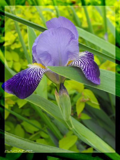 violett by Schattenspiele