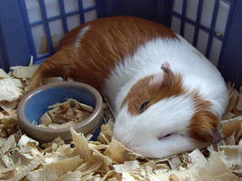 guinea pigs are cute by nadia61