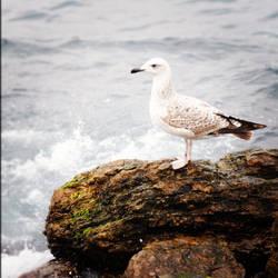 Seagull by ottisaustin
