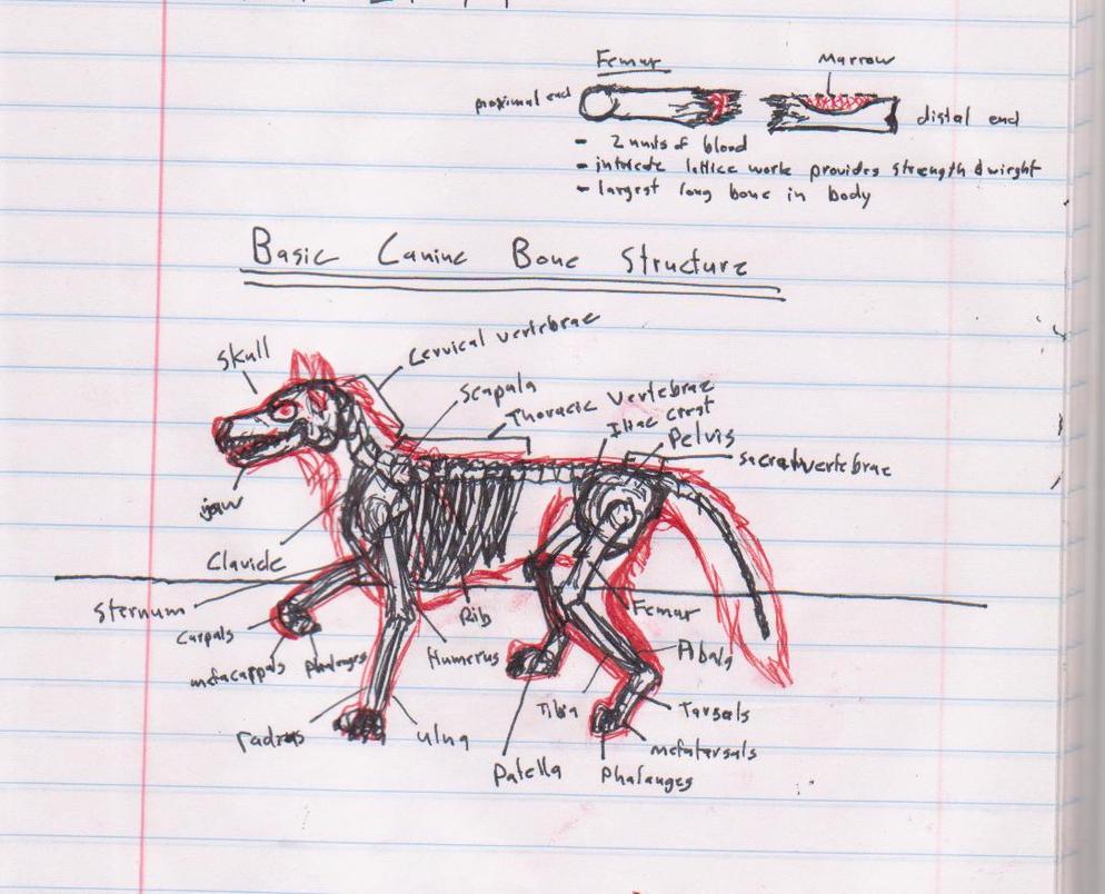 Canine Bone Structure Sketch By Capt Sierrasparx On Deviantart