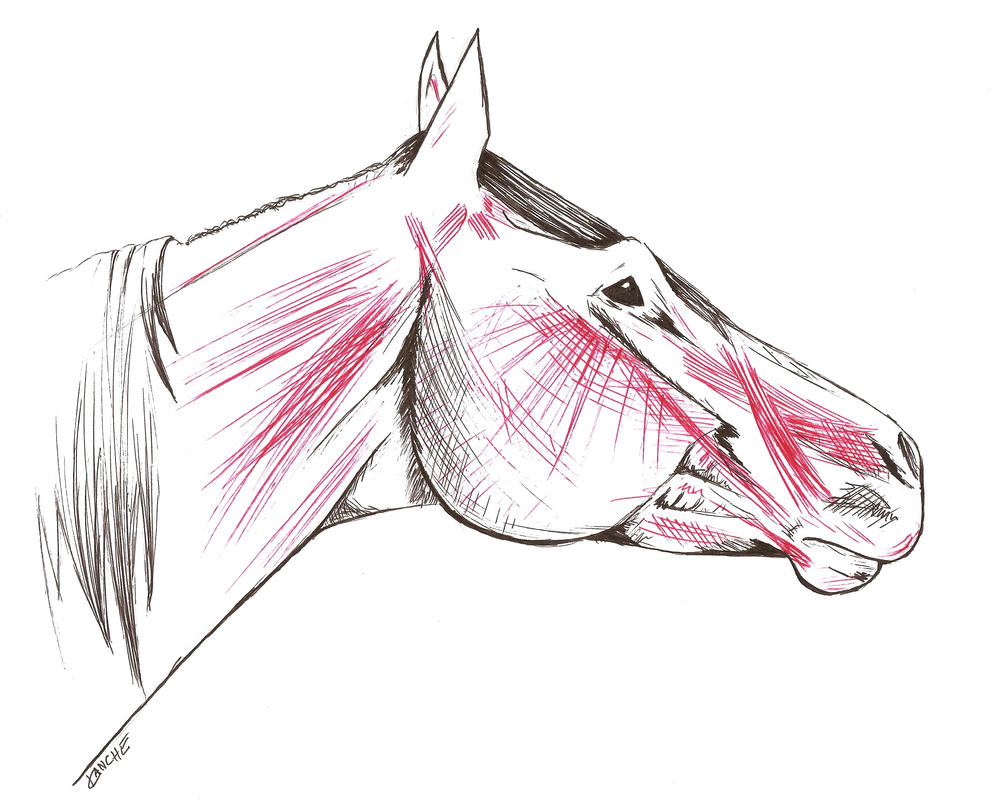 Horse head- Anatomy +profile+ by Kaanarinac on DeviantArt