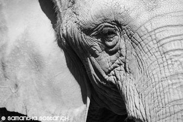 Elephant's Thoughtful Gaze by AngelSamui